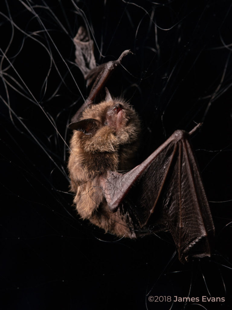 Picture of a bat being studied for the Northern Bat Working Group