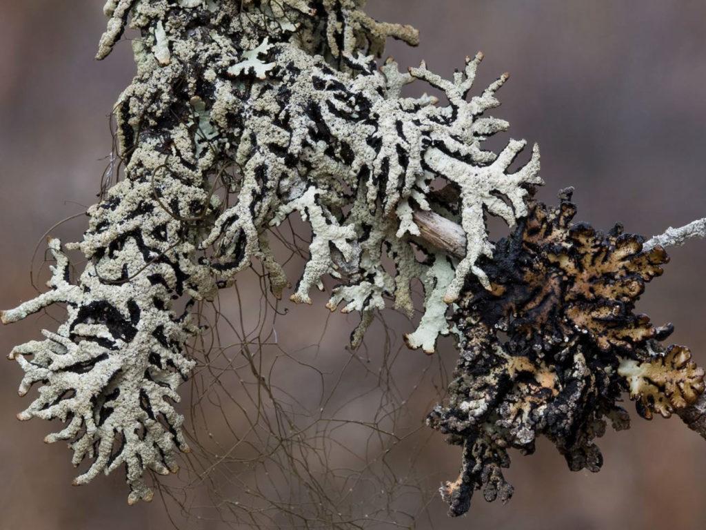 Rare Lichen picture