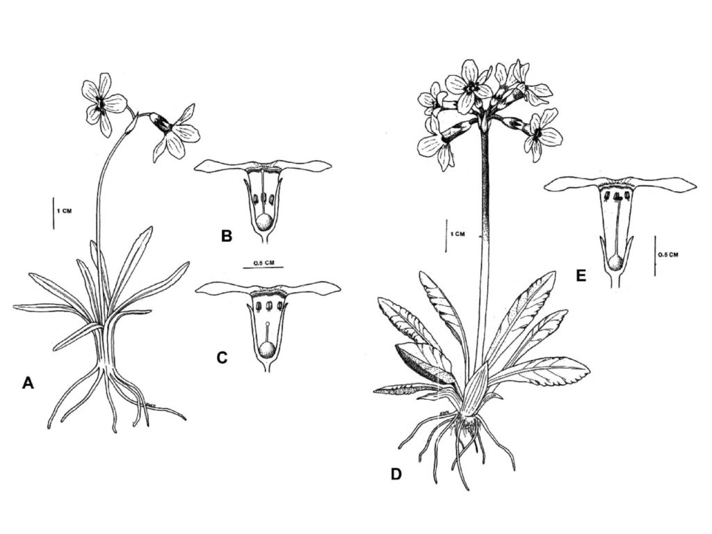 Picture of figure illustrating the Reproductive ecology of a two flower taxa found in Northwest Alaska