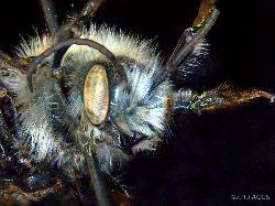 Close-up of Osmia simillima bee